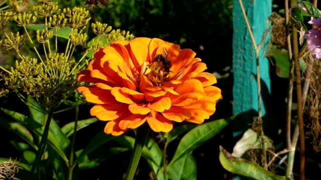 bright orange flower among green leaves with bee on it - ape operaia video stock e b–roll