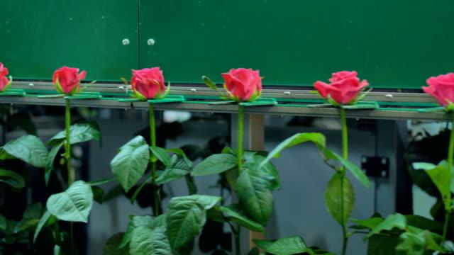 stockvideo's en b-roll-footage met helder roze rozen verplaatsen op de verwerking van lijn carrousel in bloem-fabriek. 4k. - floral line