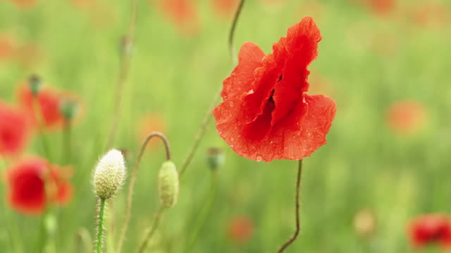 Bright red poppies growing on wheat field moving in slow wind, detail to flower and closed small heads with some rain drops