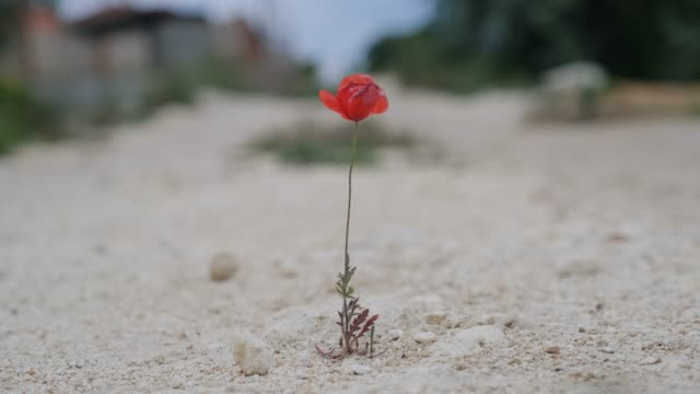 Bright red poppy growing out of the road.