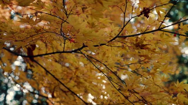 Bright sun through yellow maple leaves video