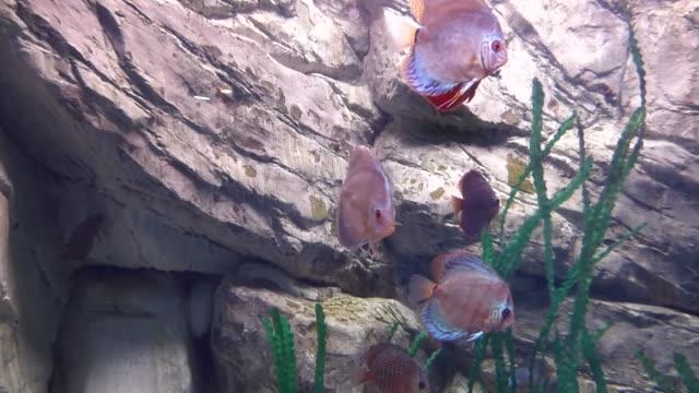 parlak tropikal balıklar bitkiler arasında saf suda yüzer - i̇htiyoloji stok videoları ve detay görüntü çekimi
