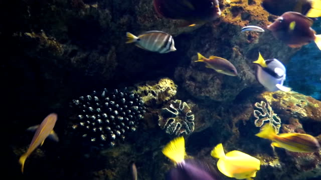 Bright tropical fishes Bright tropical fishes swims in pure water among corals. Many colored underwater inhabitants moving in different directions. zoology stock videos & royalty-free footage