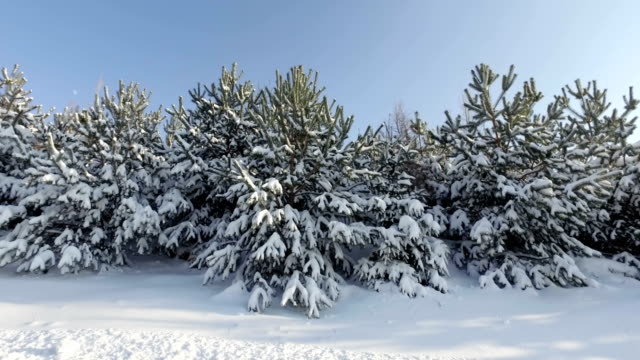 Bright winter landscape with snow-covered pine trees video