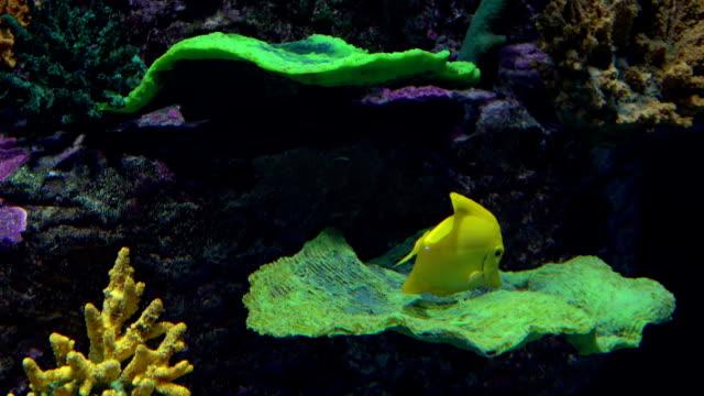 ljusa gula fjärilsfiskar flytande under vatten mot coral. fullhd video - iktyologi bildbanksvideor och videomaterial från bakom kulisserna