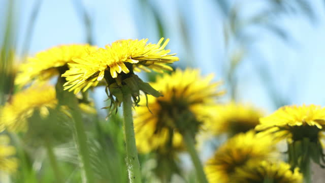 Bright yellow dandelions on sunny blue sky video