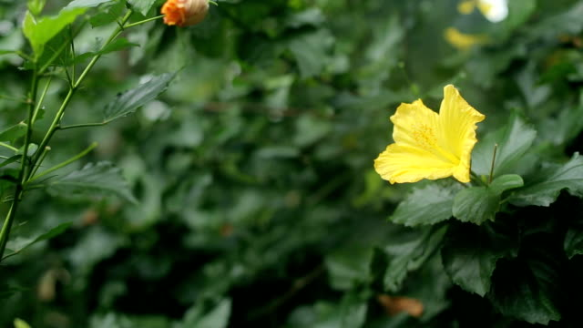 Bright yellow flower on a Bush with green leaves. video