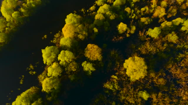 bright yellow-green chartreuse trees growing in the waters of pripyat river. belarus. - беларусь стоковые видео и кадры b-roll