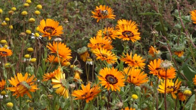 vídeos de stock e filmes b-roll de brightly colored wild flowers, namaqualand, south africa - granadilha