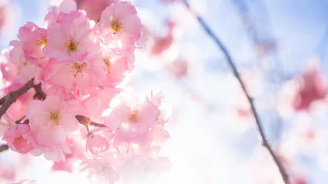 vídeos de stock, filmes e b-roll de iluminado as flores de cerejeira na primavera - cerejeira árvore frutífera