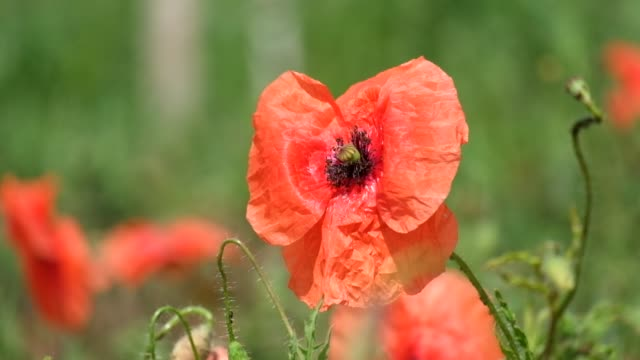 Brightly red common poppy flower. Red poppy flutters in the wind (Papaver rhoeas) video