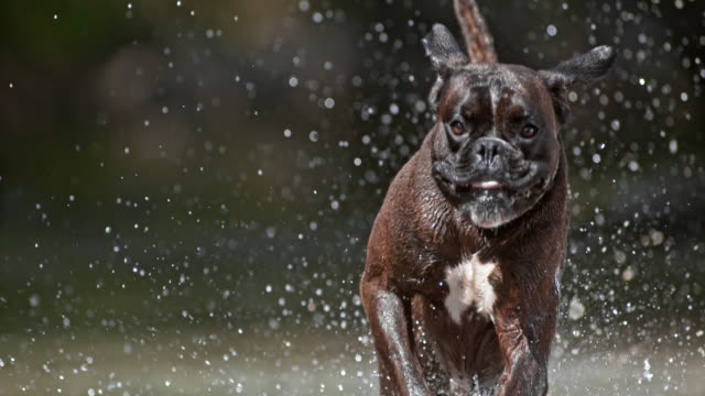 SLO MO Brindle Boxer running in water on sunny day