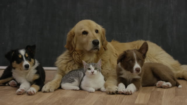 Bring Home a New Pet Two cute border collie puppies, a kitten and a golden retriever sit on a hardwood floor in front of a chalkboard together waiting to be adopted. puppy stock videos & royalty-free footage