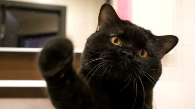 British black cat hunts its paw for the camera British black cat with orange eyes hunts its paw for the camera paw stock videos & royalty-free footage