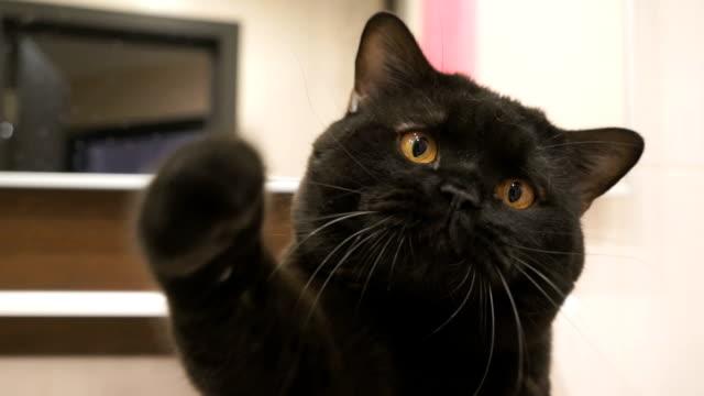czarny kot brytyjski polowań prowadzonych jego łapa do kamery - łapa filmów i materiałów b-roll