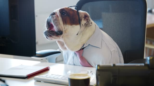 British bulldog sitting at a desk in an office, working British bulldog sitting at a desk in an office, working cube stock videos & royalty-free footage