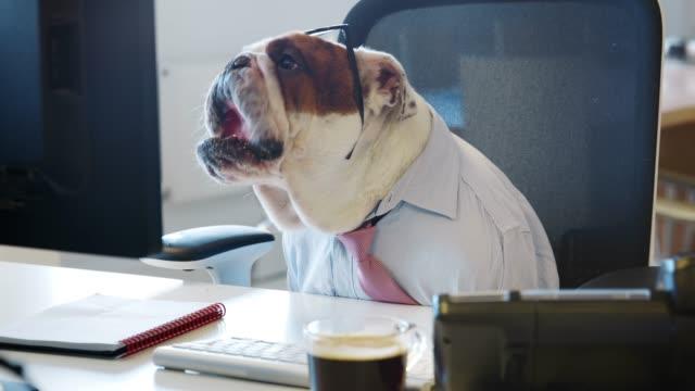 vídeos y material grabado en eventos de stock de bulldog británico sentado en un escritorio en una oficina, trabajo - cube