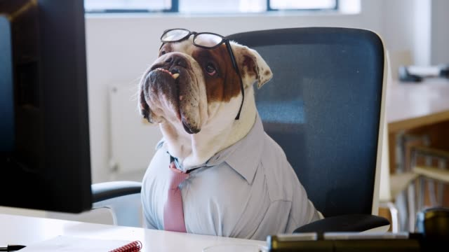 british bulldog working in office looking at computer screen - dobrze ubrany filmów i materiałów b-roll