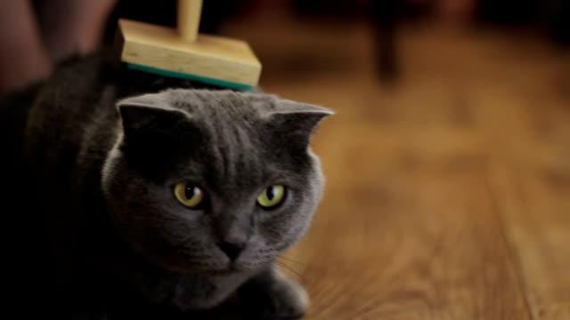 イギリス猫の毛づくろい - ブラシ点の映像素材/bロール