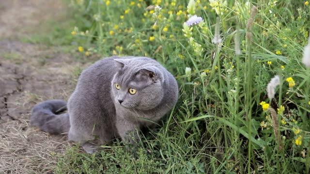 british cat in a green grass - gatto dal pelo corto video stock e b–roll