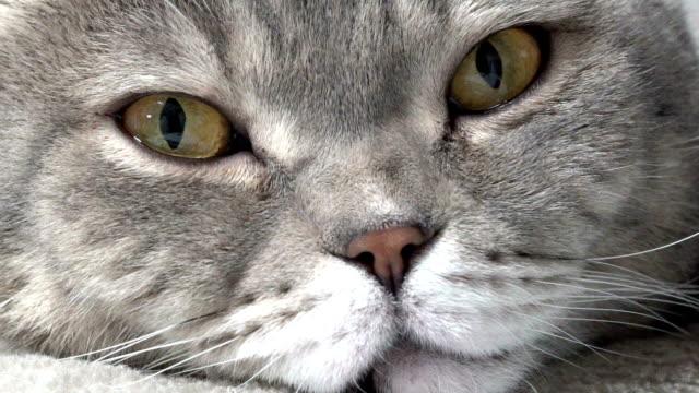 gatto britannico disteso su poltrona - gatto dal pelo corto video stock e b–roll