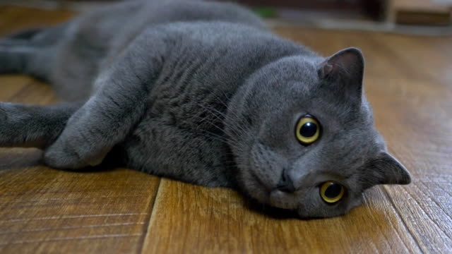 British cat lying on the floor on his back, trying to sleep. happy cat video