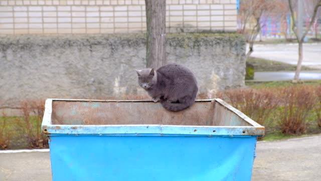 vídeos de stock e filmes b-roll de british cat on an iron garbage can. searches for food - lata comida gato
