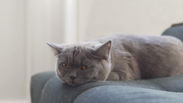 青いソファでリラックスする英国のかわいい猫 - ふわふわ点の映像素材/bロール