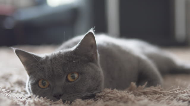 British cute cat relaxing on brown carpet