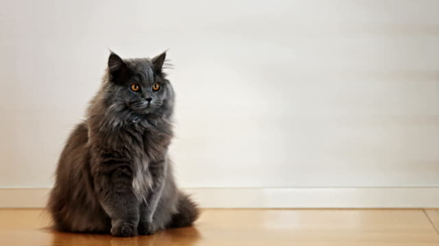 Británico gato pelo largo parado en un piso de madera 2 - vídeo