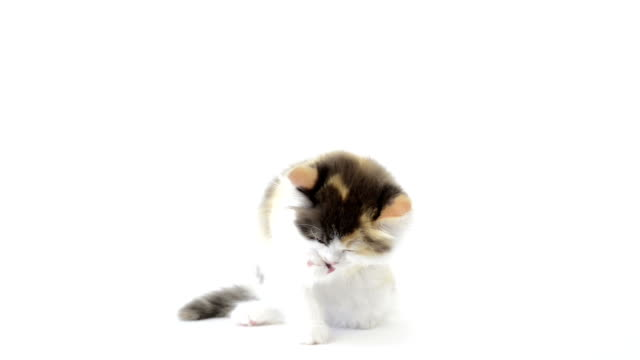British Longhair kitten cleaning itself video