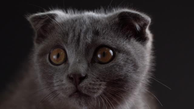 british scottish fold cat close up portrait. - głowa zwierzęcia filmów i materiałów b-roll