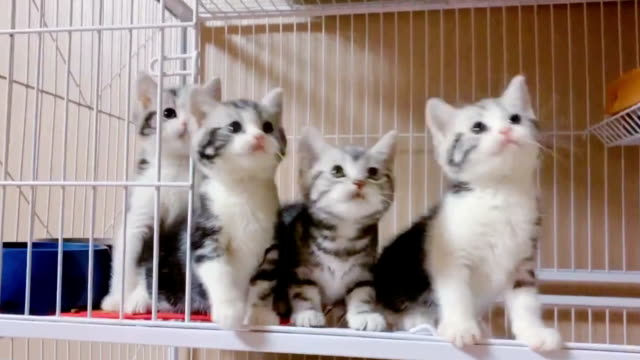 British short hair cat British short hair cat kitten stock videos & royalty-free footage