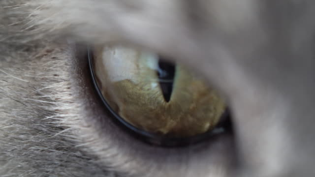 British Shorthair cat eyes video