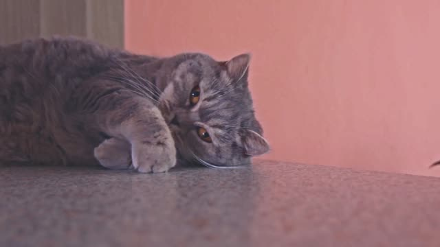 british shorthair cat lies on the desk. cute adorable pet with funny expression in face. indoor video of domestic cat with short hair. - gatto dal pelo corto video stock e b–roll