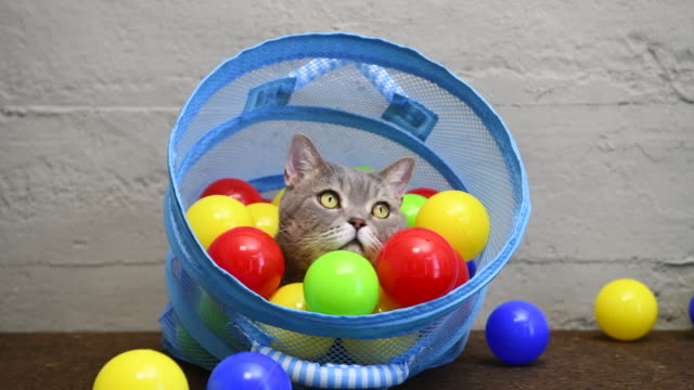 British shorthair cat playing with colorful balls in laundry basket