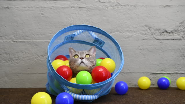 British shorthair cat playing with colorful balls in laundry basket British shorthair cat playing with colorful balls in laundry basket laundry basket stock videos & royalty-free footage