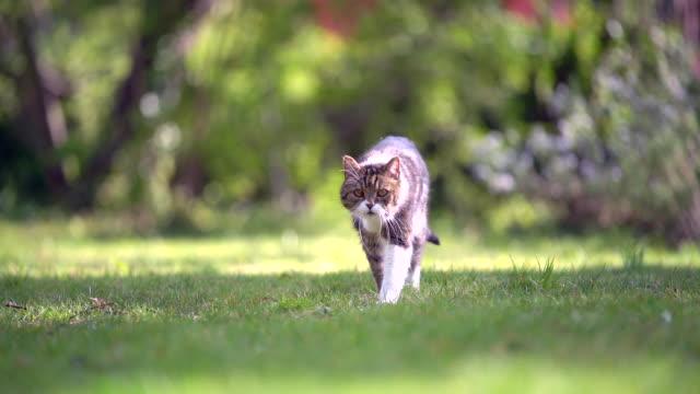 영국 쇼트헤어 고양이 - 풀 벼과 스톡 비디오 및 b-롤 화면