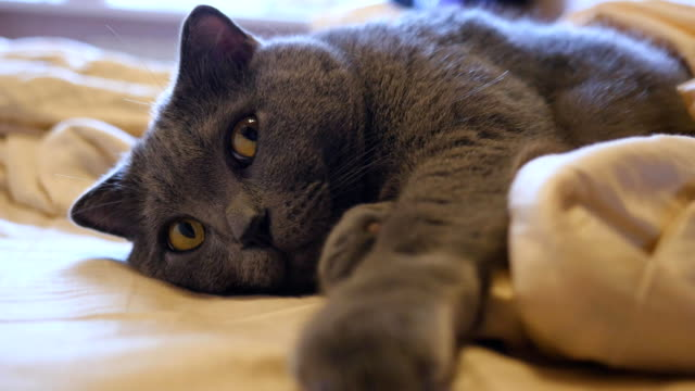 British Shorthair cat with yellow eyes lying on the bed British gray shorthair cat with yellow eyes, lies on a white bed charming stock videos & royalty-free footage