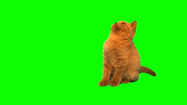 british shorthair kociak ziewanie - cat filmów i materiałów b-roll