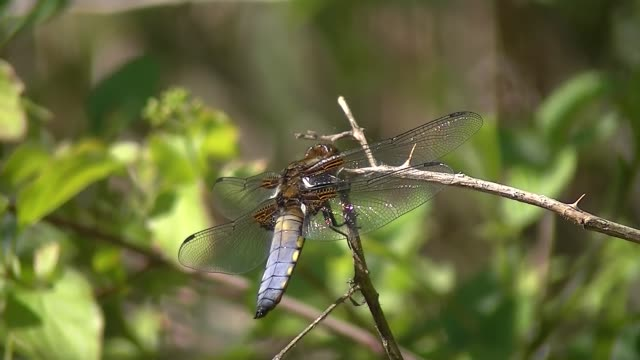 broad bodied chaser dragonfly sitting on a twig and flying away, libellula depressa or plattbauch - libellulidae video stock e b–roll