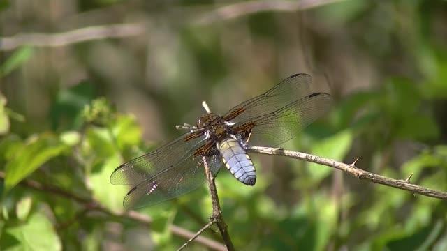 broad bodied darter dragonfly, libellula depressa or plattbauch - libellulidae video stock e b–roll
