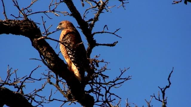 Broad Winged Hawk video