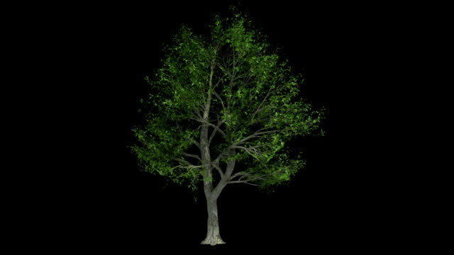 Broadleaf Tree Animation video