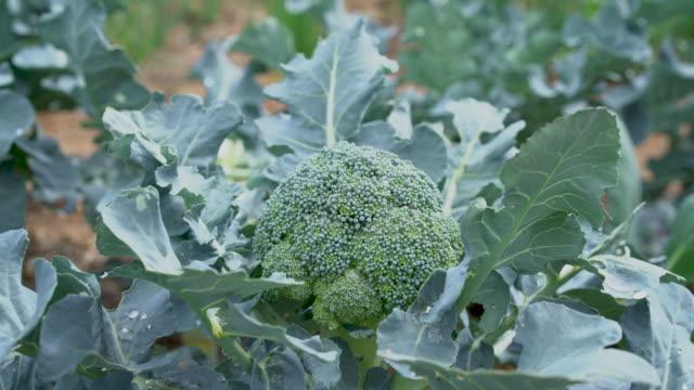 broccoli in the field - broccolo video stock e b–roll