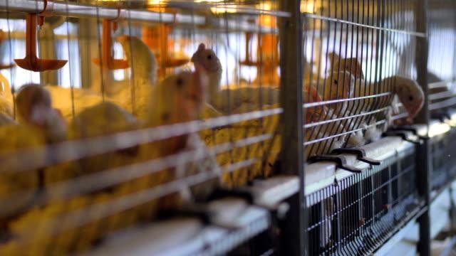 ブロイラー鶏はケージの中から頭をスティックします。 - 家畜点の映像素材/bロール