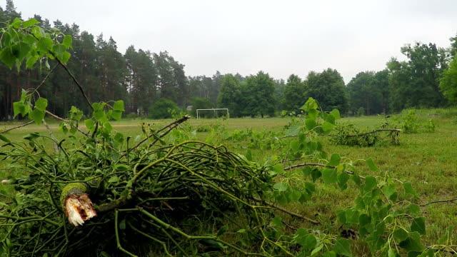 Broken branch of poplar lies on the ground after hurricane.