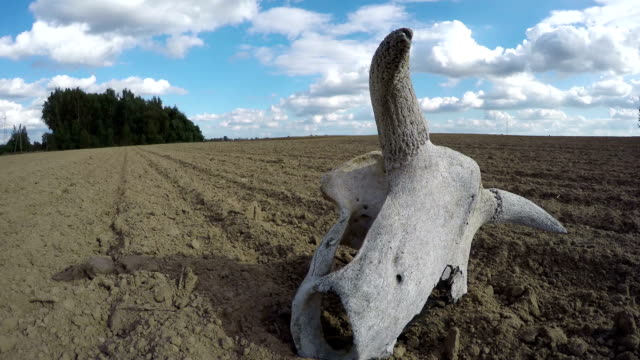 Broken cow skull in the field, time lapse video