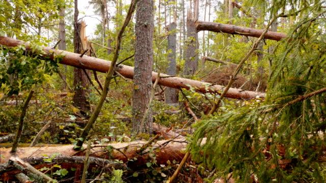 Broken forest after powerful hurricane