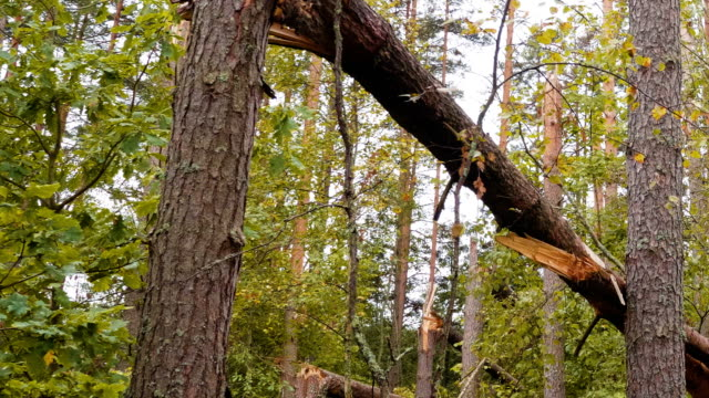 Broken forest after powerful storm Panoramic shot of broken forest after powerful hurricane bent stock videos & royalty-free footage